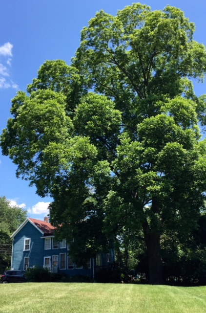 Northern pecan tree (Carya illinoensis)